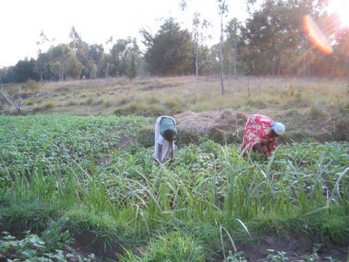 Deux cultivatrices sarclant un champ de patates et haricots